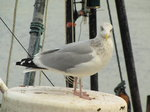 SX00453 Seagull looking inquisitively [Herring Gull - Larus Argentatus].jpg